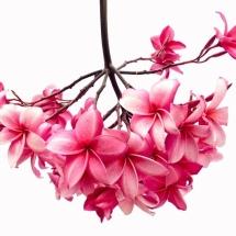 flower-گل (243)