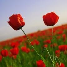 flower-گل (254)
