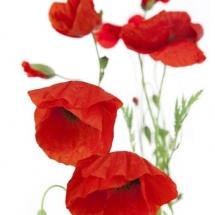 flower-گل (255)