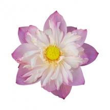 flower-گل (263)