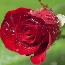 flower-گل (292)