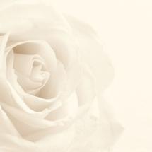 flower-گل (340)