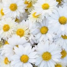 flower-گل (353)