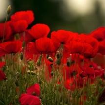 flower-گل (358)