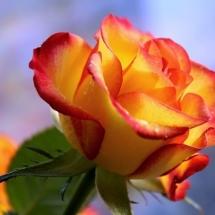 flower-گل (366)