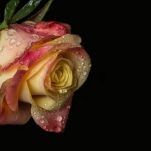 flower-گل (367)