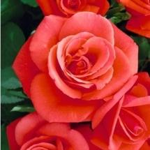 flower-گل (75)