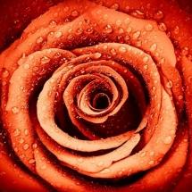 flower-گل (80)