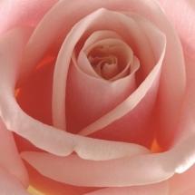 flower-گل (95)
