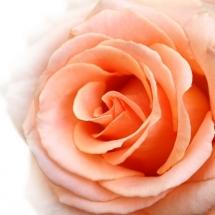 flower-گل (99)